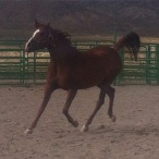 Showing off that endurance trot.